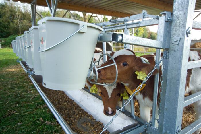 Dieses Bild zeigt das Fressgitter der IgluVeranda in Nahaufnahme. Ein Kalb trinkt am Nuckeleimer mit Schutzkorb zur Verhinderung von Milchklau.